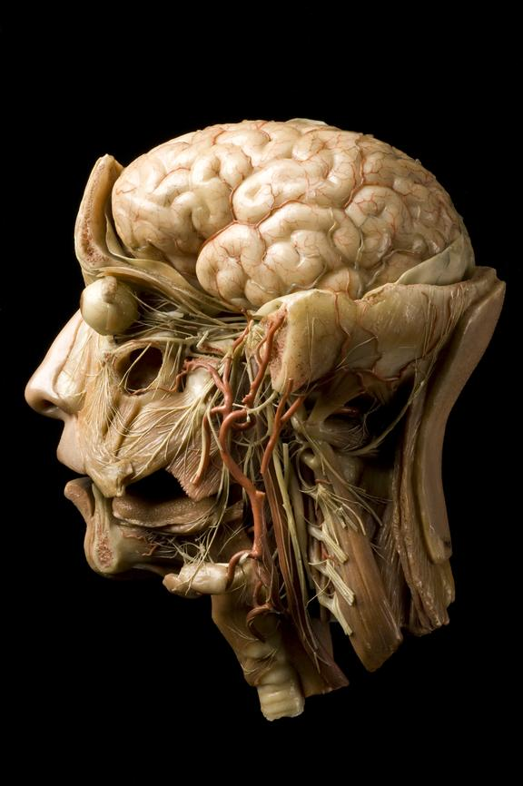 Wax Anatomical Model Of A Human Head Science Museum Group Collection